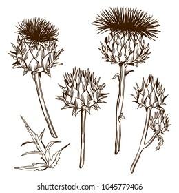 Set of decorative onopordum acanthium. Scottish thistle.