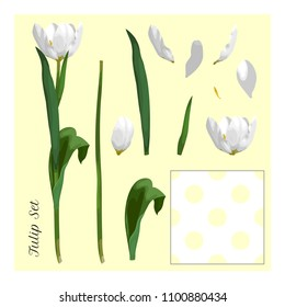 Set for design. Disassembled white tulip flower. Petals, stem and leaves and seamless background in polka dots