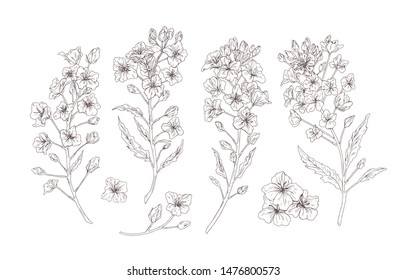 Set of detailed botanical drawings of blooming rapeseed, canola or mustard flowers. Bundle of crop or cultivated plant drawn with contour lines on white background. Realistic vector illustration.