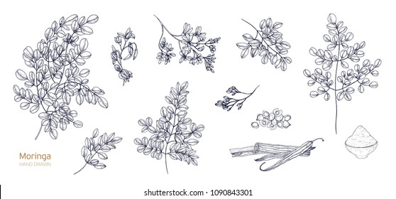 Set of detailed botanical drawings of Moringa oleifera leaves, flowers, seeds, fruits. Bundle of parts of tropical plant hand drawn with black contour lines on white background. Vector illustration