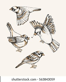 Set with different flying and sitting sparrow. Hand drawn colorful vector illustration.