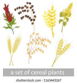 a set of different grain crops. Amaranth, kinoa, barley, buckwheat, wheat, oats, rye.