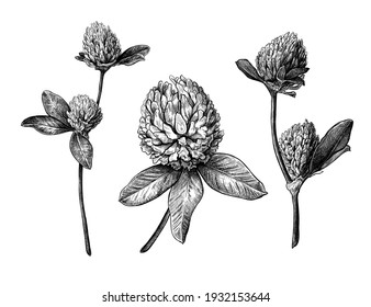 Set of different hand drawn flowers and leaves of clover. Vector illustration in sketch style, botanical design elements isolated on a white background