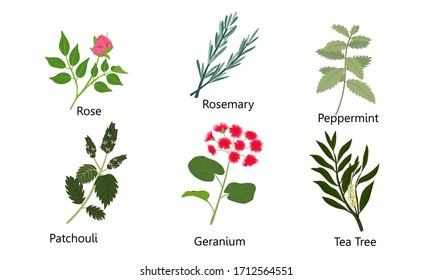 Set of different natural herbs, flowers. Rose, rosemary, peppermint, patchouli, geranium, tea tree.Vector illustration in flat cartoon style