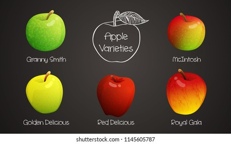Set of different varieties of apples with names. Colorful fruits isolated on grey background. Vector illustration.