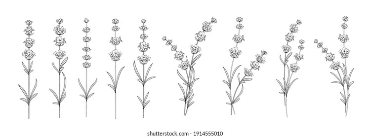 Set of differents lavender on white background
