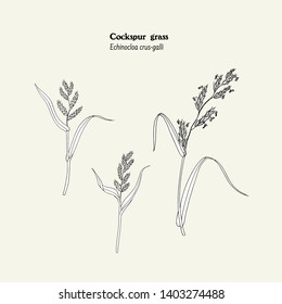 Set of drawings of cockspur grass with leaves, stems, ears, spikelets and pollen. Echinocloa crus-galli botanical black and white illustration.