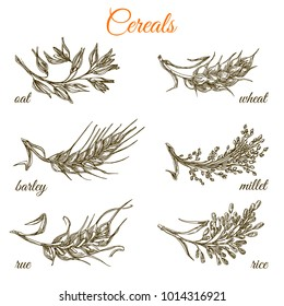Set of ears. Oat, wheat, barley, millet, rue and rice. Monochrome. Engraving style. Vector illustration.