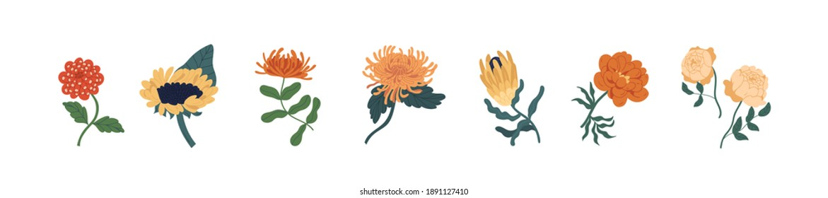 Set of fall garden flowers isolated on white background. Gorgeous autumn floral plants of zinnia, sunflower, chrysanthemum, protea and peony rose. Colorful flat vector illustration