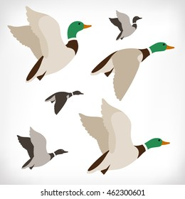 Set of flying wild ducks. Duck hunting. Mallard duck flying. Drake vector illustration.