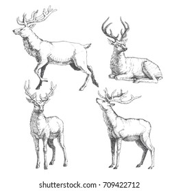 Set of forest deers. Vector hand drawn illustration with wild animals in sketch style