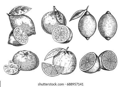 Set fresh lemon, orange. Hand drawn sketch style tropical summer fruit vector illustration. Isolated drawing on white background. Vitamin and healthy fruit eco food. Farm market produce.