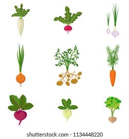 Set of fresh organic vegetable garden isolated on white background. Different kind root veggies: carrot, onion, potatoes, radish, daikon, beet, garlic, celery. Vector illustration
