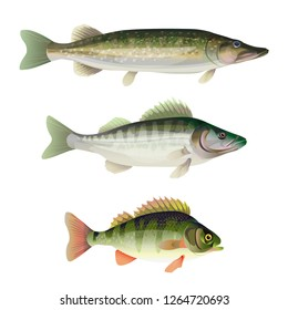 Set of freshwater predatory fish. Pike, zander, perch. Vector illustration isolated on white background