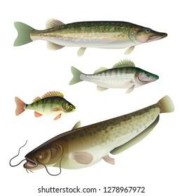 Set of freshwater predatory fish. Pike, zander, perch, catfish. Vector illustration isolated on white background