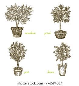 Set of fruit trees in pots. Mandarin, peach, lemon and pear. Engraving style. Vector illustration.
