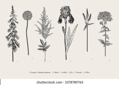 Set garden flowers. Classical botanical illustration. Foxglove, Allium, Astilbe, Iris, Veronica, Phlox. Black and white