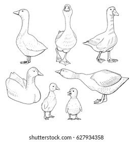 Set of geese and goslings. Hand drawn vector illustration.