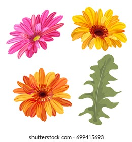 Set of Gerbera daisy: orange, red, yellow flowers and green leaves on white background, digital draw, botanical illustration in watercolor style for design, vector
