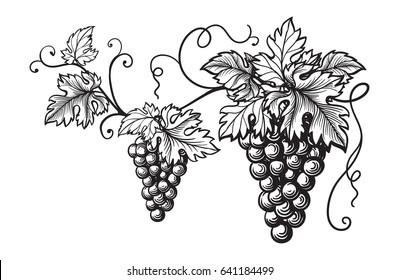 Set of grapes monochrome sketch. Hand drawn grape bunches.