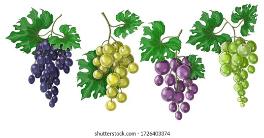 A set of grapes on a bunch with leaves, their four varieties and colors - blue, purple, green and white. Stock vector illustration isolated on white background.