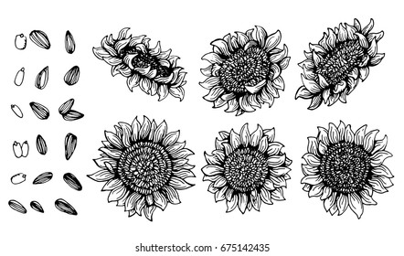 Set of Graphic sunflower and sunflower seeds