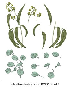 Set of green leaves (greenery): branches Eucalyptus seeded (radiate, peppermint), Eucalyptus silver dollar (redbox gum) on white background. Digital draw in engraving vintage style, vector
