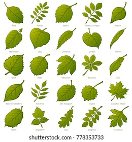 Set of Green Leaves of Various Plants, Trees and Shrubs, Nature Icons for Your Design. Vector