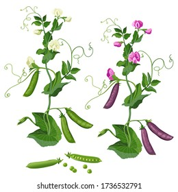 Set Green pea plant, pea pods, flowering white and pink peas. Isolate on a white background. Vector image