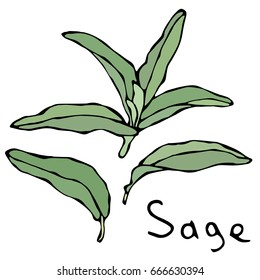 Set of Green Sage Herb Branch and Leaves . Realistic Hand Drawn Doodle Style Sketch. Vector Illustration Isolated On a White Background.