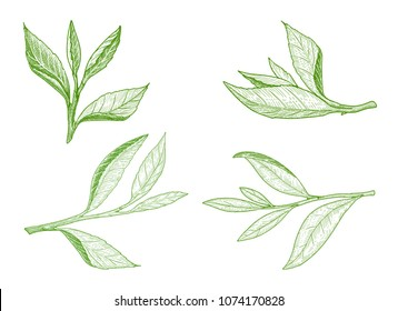 Set of green tea leaves sketch. A sprig of green tea leaf with the stem. Hand drawn vector isolated element collection for label design.