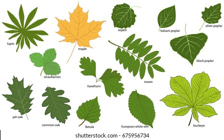 Imágenes, fotos de stock y vectores sobre Names of Leaves | Shutterstock