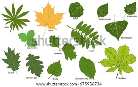set green tree leaves their names stock vector royalty free