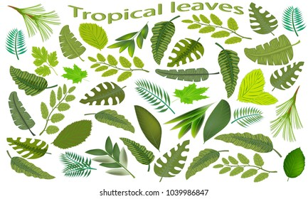Set of green tropical leaves. Green leaf isolated on white background. Leaves of different tropical plants. Vector illustration.
