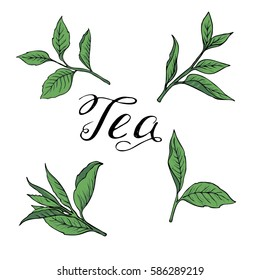 Set of greet tea leaves and branches on white background. Hand lettering. Hand drawn vector illustration.