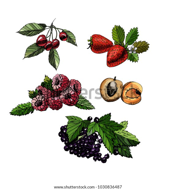 set hand draw colored sketch with berries and leaves on white background. vector illustration