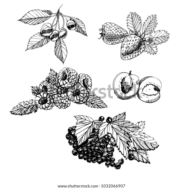 Set hand draw graphic sketch with berries and leaves on white background. vector illustration