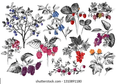 Set of hand drawn berries branches with color accents. Plants with ripe berries and flowers. Vector illustration