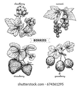 Set of hand drawn berries isolated on white background. Strawberry, cloudberry, gooseberry, currant, on white background. Fruit botany illustration.