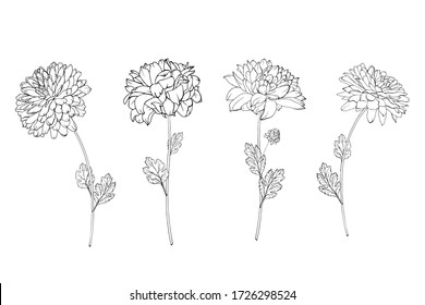 Set of hand drawn black outline flowers chrysanthemum on stem and leaves isolated on white. Vector stock illustration.