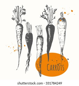 Set of hand drawn carrots. Black and white sketch food. Fresh organic. Vector illustration with vegetable.
