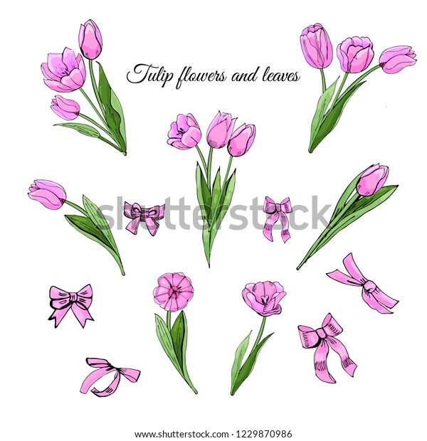 Set hand drawn colored  sketch with pink  tulip flowers, leaves and bows isolated on white  background. Vector illustration.