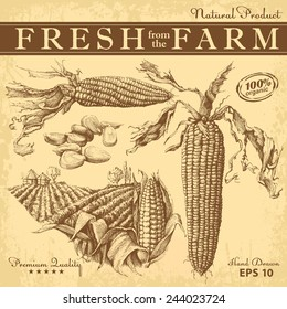 Set of hand drawn corn.  Vintage vector