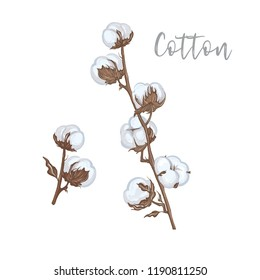 Set of hand drawn Cotton branches. Isolated scetch painting on white background.