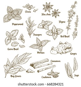 Set of hand drawn culinary aroma herbs and spices, vector illustration
