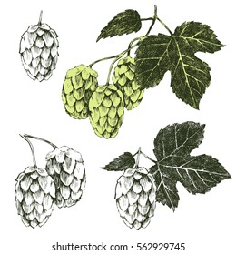 Set of hand drawn hop plant - vector illustration