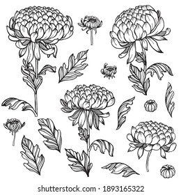 Set of hand drawn outlined chrysanthemum flowers, buds and leaves on white isolated background. Beautiful vector floral decor.
