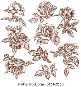 Set of hand drawn roses, vintage sketch,victorian retro style, romantic decoration, engraving, ink illustration. Vector illustration of several english roses with leaves and buds. Multi petal flowers.
