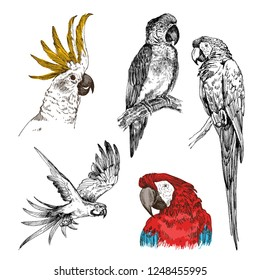 Set of hand drawn sketch black and white with colorful vintage exotic tropical bird parrot macaw and cockatoo. Vector illustration isolated object