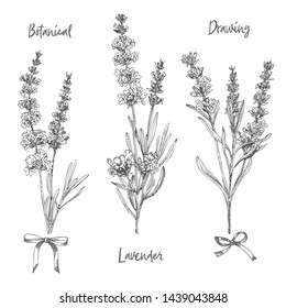 Set of hand drawn sketch of Lavender flower and cute bows isolated on white background. Vintage vector illustration. France provence retro pattern for romantic fresh design concept. Natural lavander